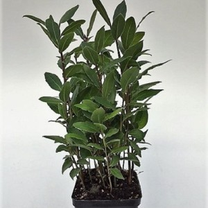 Laurus nobilis (Green Collect Sales)