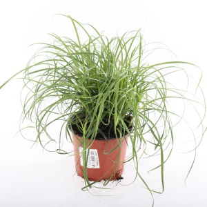 Carex caryophyllea 'The Beatles' (Experts in Green)