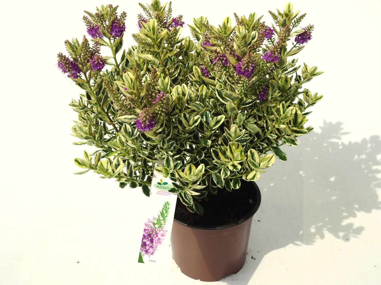 Hebe \'Andersonii Variegata\' – FlorAccess Wholesale of Plants