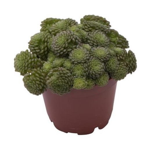 Monanthes polyphylla (Gasa DK)