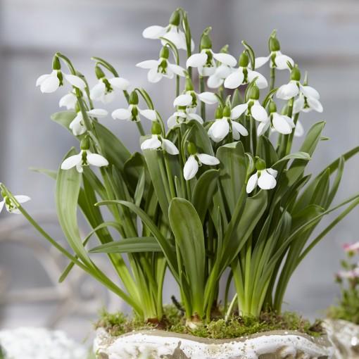 Galanthus elwesii 'Beluga' (Komen, Kwekerij MJ )