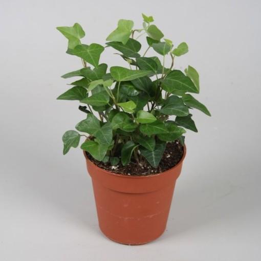 Hedera helix 'Anna' (Vireõ Plant Sales)
