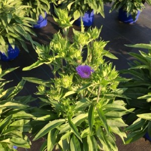 Stokesia laevis 'Mels Blue' (Experts in Green)