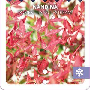 Nandina domestica 'Gulf Stream' (Snepvangers Tuinplanten BV)