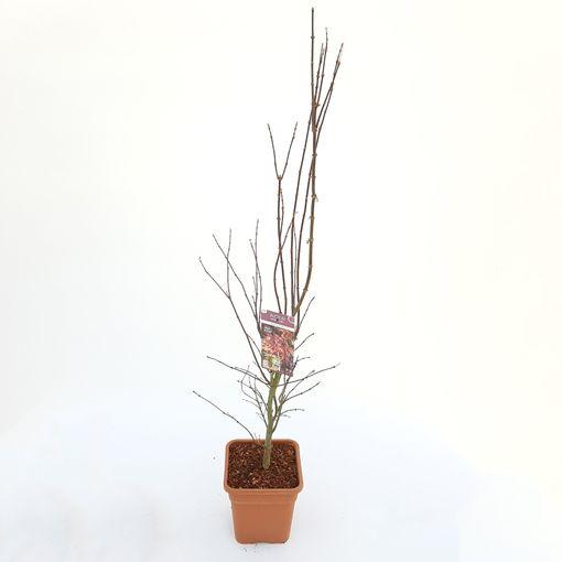 Acer palmatum 'Skeeter's Broom' (Son & Koot BV)