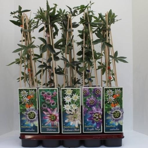 Passiflora MIX (Gebr. Griffioen)
