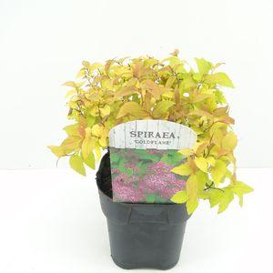 Spiraea japonica 'Goldflame' (Hooftman boomkwekerij)