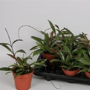 Hoya pubicalyx (Handelskwekerij van der Velden)