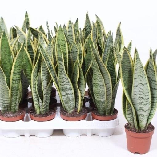 Sansevieria trifasciata 'Laurentii' (Fachjan)