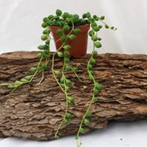 Senecio rowleyanus (Gasa DK)