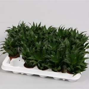 Dracaena fragrans PEQUENA (Hkw. van der Velden)