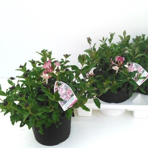 Lonicera periclymenum CHIC & CHOC (Experts in Green)