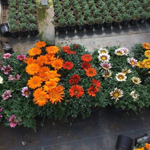 Gazania rigens NEW DAY MIX (Sonneveld Plants)