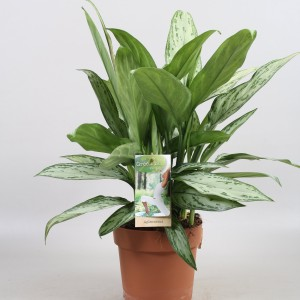 Aglaonema commutatum 'Silver Queen' (Vireo Plant Sales)