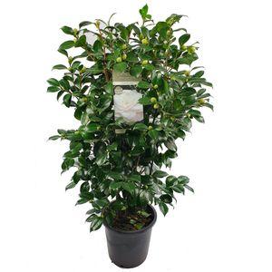 Camellia japonica 'Centifolia Alba'