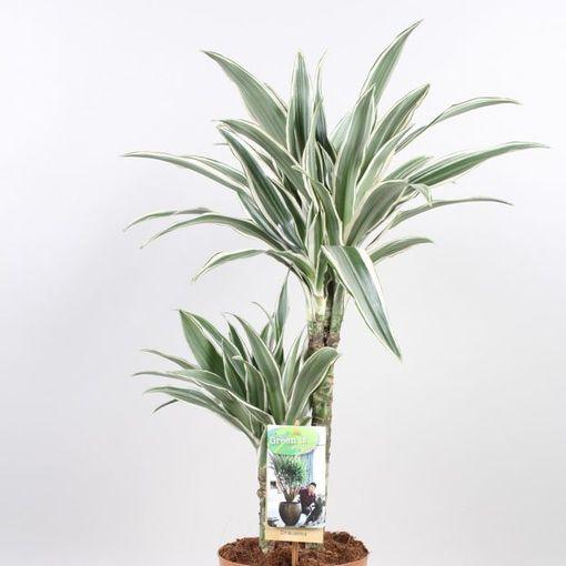 Dracaena fragrans 'White Stripe' (Vireõ Plant Sales)