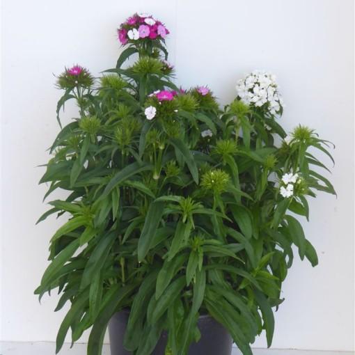 Dianthus barbatus MIX (Experts in Green)