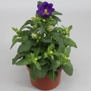 Campanula medium APPEAL DEEP BLUE (Gebr. Grootscholten)