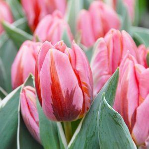 Tulipa 'Pretty Princess' (Gebr. Straathof)