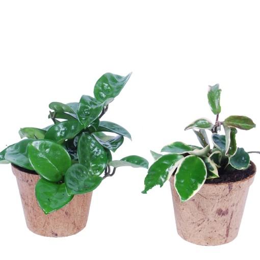 Hoya carnosa MIX (Van der Arend Tropical Plantcenter)