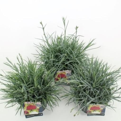 Dianthus GARDEN PINKS MIX (Noordpoel, Kwekerij de)