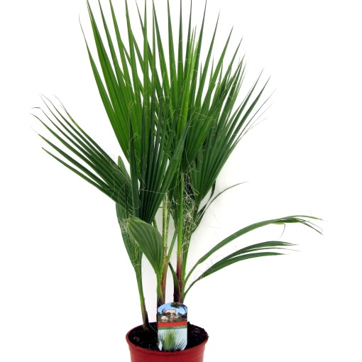 Washingtonia robusta (Luiten kwekerij)