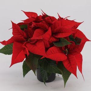 Euphorbia pulcherrima CHRISTMAS FEELINGS DARK RED (Kwekerij Jan van der Knaap)