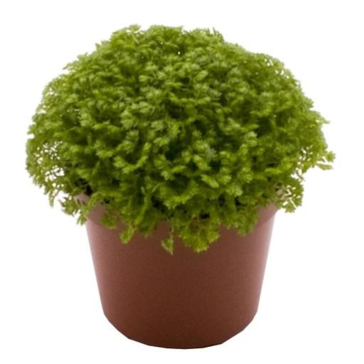 Selaginella apoda (Gasa DK)