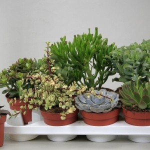 Succulents MIX (Ubink)