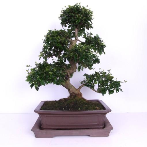 Bonsai MIX (Trendy Bonsai BV)