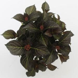 Hydrangea macrophylla BLACK DIAMONDS MIX (De Jong Plant BV)