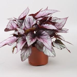 Begonia BELEAF MAORI HAZE
