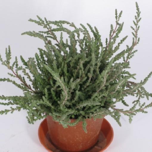 Calluna vulgaris 'Silver Knight' (Experts in Green)
