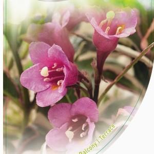 Weigela florida MONET (Dool Botanic)