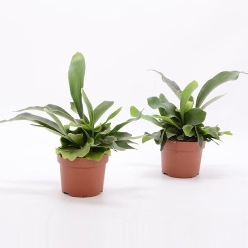 Platycerium bifurcatum 'Netherlands' (Bunnik Plants)