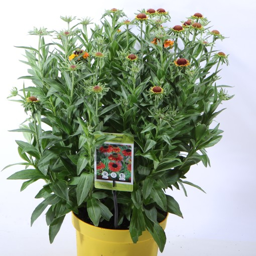 Helenium 'Short 'n' Sassy' (Experts in Green)