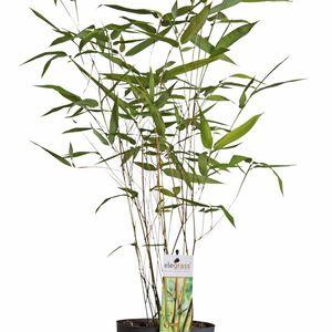 Phyllostachys aureosulcata 'Aureocaulis' (Hoogeveen Plants)