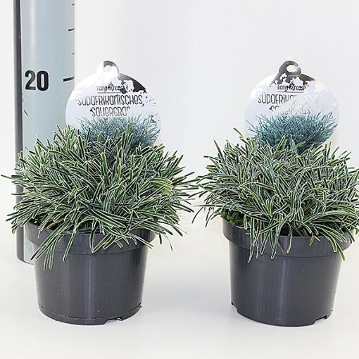 Ficinia truncata (Experts in Green)