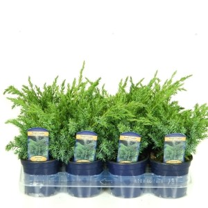 Juniperus x pfitzeriana 'Gold Coast'