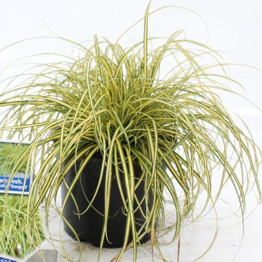Carex oshimensis 'Evergold' (About Plants Zundert BV)