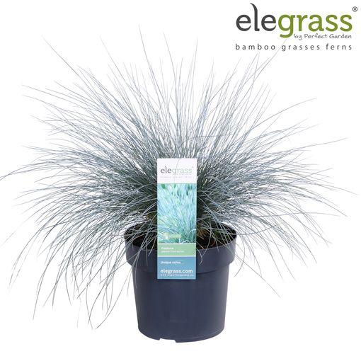 Lithodora diffusa 'Grace Ward' (Hoogeveen Plants)