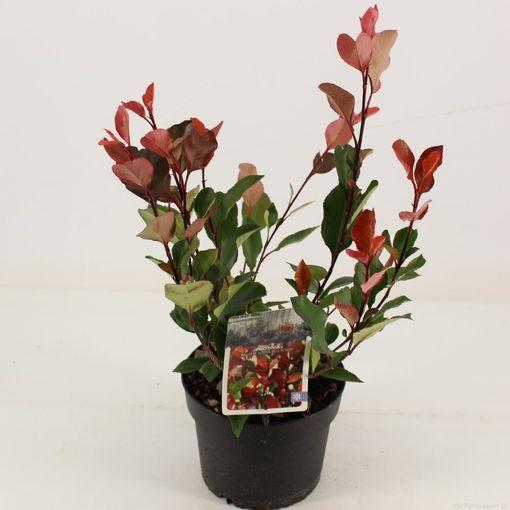 Photinia x fraseri 'Little Red Robin' (Snepvangers Tuinplanten BV)
