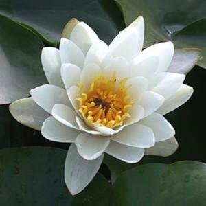 Nymphaea 'Gladstoniana' (Moerings Waterplanten)