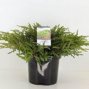 Juniperus communis 'Repanda' (Bremmer Boomkwekerijen)