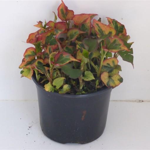 Houttuynia cordata 'Chameleon' (Experts in Green)