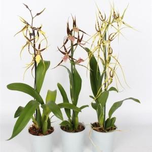 Brassia MIX (Lansbergen Orchideeën)
