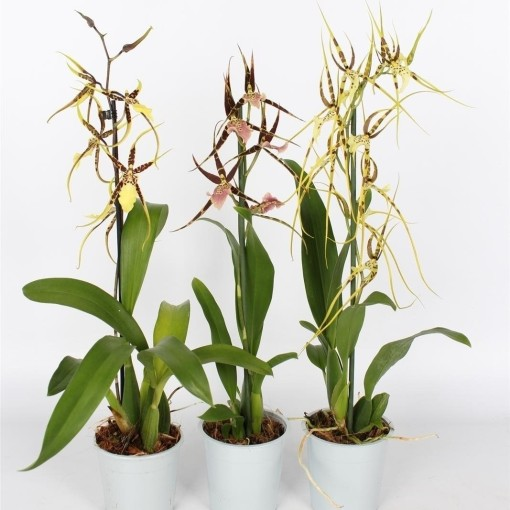 Brassia MIX (Lansbergen Orchids)