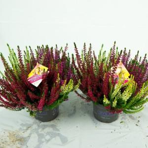 Calluna vulgaris BEAUTY LADIES MIX IN POT
