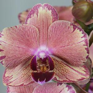 Phalaenopsis FLORICLONE PIRATE PICOTEE (Leerdam Orchideeën)