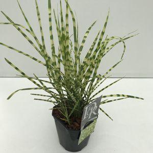 Miscanthus sinensis 'Gold Breeze'